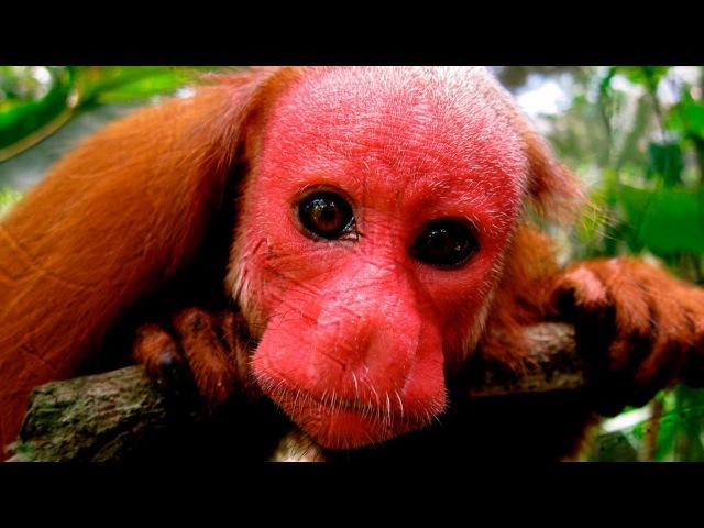 НЕОБЫЧНЫЕ ЖИВОТНЫЕ, живущие в лесах АМАЗОНКИ!