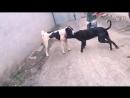 Булли кутта VS алабай (29) Собачьи бои