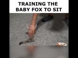 Training the baby fox to sit ИИИИИИИИИИИИИИИ