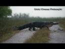 Allegator crossing by Bobby Wummer