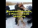 Огромный «оборотень» разорвал пополам алабая и загрыз десяток свиней в Ростовс ...