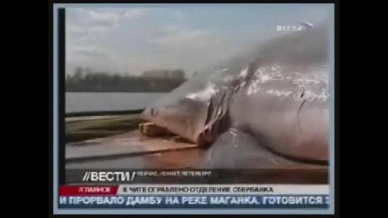 Акула заплыла в Неву Shark in Neva river