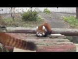 Теперь я хочу себе красную панду