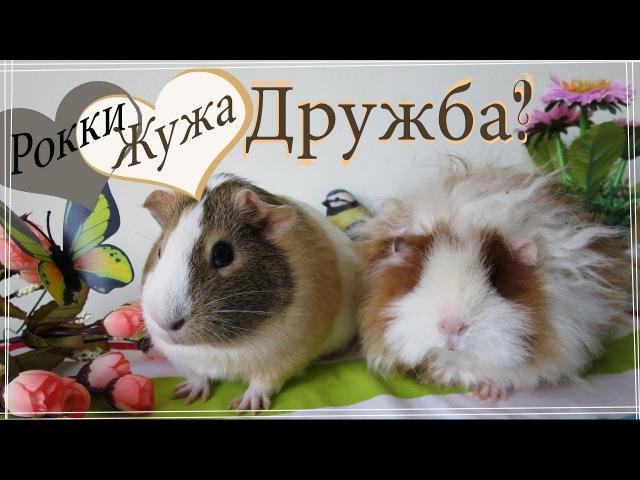 Нужна ли свинке пара? Женская дружба существует?