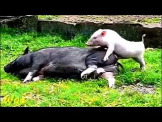 СЕКС МАЛОЛЕТКИ БЛОНДИНКИ ШКОЛЬНИЦЫ МАМОЧКИ ШКУРЫ Crazy Small Pig making love big pig funny animals