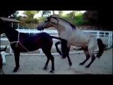 СЕКС 1Смотреть спаривание лошадей, Caballo Cruza y Burro de 3 artasa84 en Celo