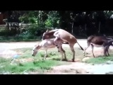 СЕКС МАЛОЛЕТКИ horse,s mating donkey breeding time