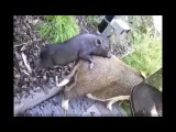 СЕКС С ЖИВОТНЫМИ Small and BIG Pigs Mating Breeding   Travel and golden business around Mating Animals