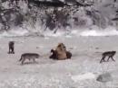 Медведица защищает медвежат от стаи волков