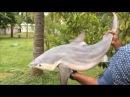 Cooking a 40 Pound Shark in My Village - Sura Puttu - Cooking a Big Shark