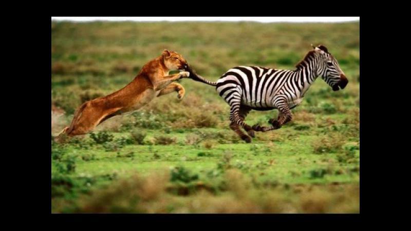 Жизнь львов. Охота львов на зебр, буйволов и антилоп. Док фильм про животных.