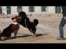 Тибетский Мастиф против Волкодава 18+ собачьи бои