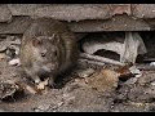 Как бороться с крысами и мышами?