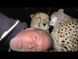 Camping Inside A Cheetah Enclosure  Big Cats Snuggle Cuddle Purr Groom And Sleep With Friend