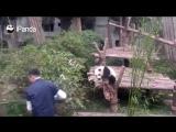 Маленькая миленькая панда не дает сотруднику зоопарка работать