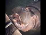 А вы видели, как кормят бегемота в Казанском зоопарке?