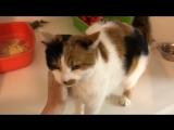 Ласковая кошка Дакота