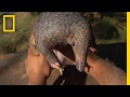 The Tragic Tale of a Pangolin the World's Most Trafficked Animal