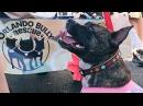 Парад собак Нарядный питбуль — добрый питбуль в Орландо прошел предновогодний собачий парад
