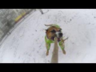 Очень смешная, невозмутимая собака крутится на палке как на каруселе.