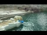Белый мишка-шалун из московского зоопарка
