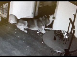Siberian Husky Dog Stages