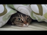 Кот любит прятаться под одеялом; Cat loves to hide under the cover