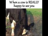 Когда коровка ОЧЕНЬ тебе рада.
