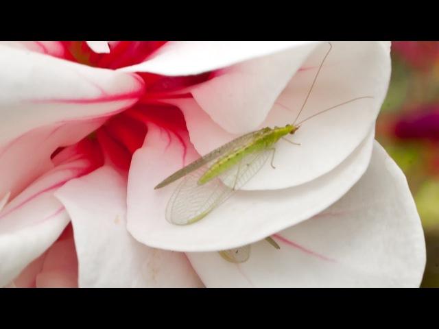 Белокрылка и паутинный клещ: биозащита