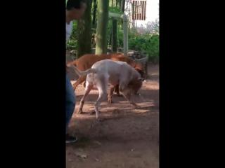 Булли кутта Тигр VS аргентинский дог (Dogo argentino bully kutta собачьи бои)