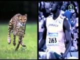 В мире животных. Как удаётся гепарду развить скорость 75 км ч за две секунды