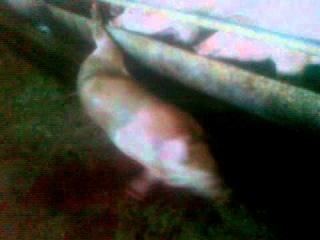 Славик режет свинью.mp4