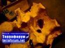 Самка рожает и защищает своих малышей. Мраморный таракан Nauphoeta cinerea