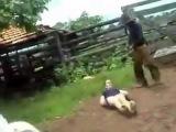 cow kicks woman