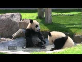 Панды балуются в бассейне