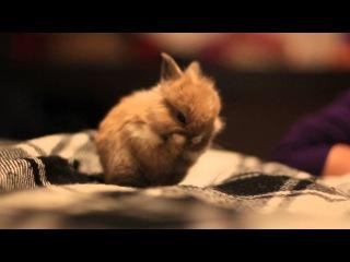 карликовый кролик Симба