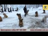 дрессировка собак Ирпень,Буча,Ворзель