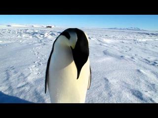 Встреча с императорским пингвином