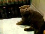 ГОВОРЯЩИЙ БРИТАНСКИЙ КОТ!! приколы с животными