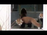 The Little Red Panda Gets The Shock Of His Life