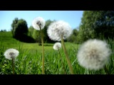 Расслабляющая музыка шведской природы - весенний луг, звуки птиц HD 1080