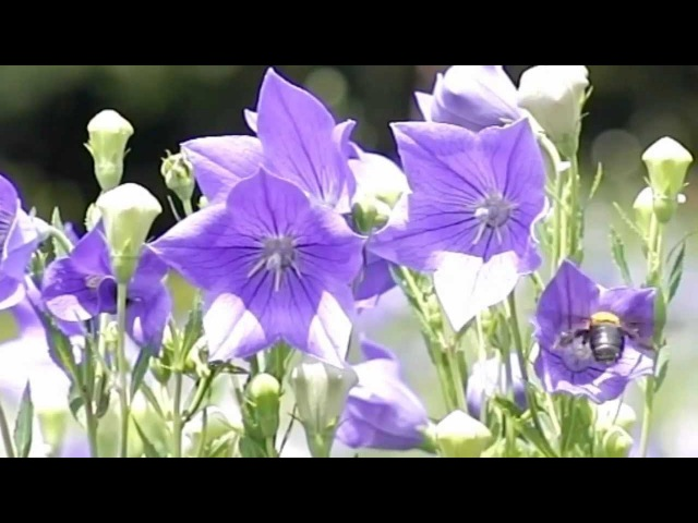 Chitose Okashiro - Op. 8 No. 5 in E Major (Brioso) § Kentucky Blue Belles