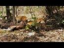 (HD) Successful Hunter Tigress, Makes a kill on every 3rd Try - Tigress Hunting 2 of 4 !