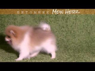 щенок шпиц Мин Херц Умвурф 3 месяца