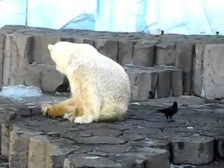 Белый медведь и наглая ворона