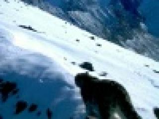 На Алтае специальные фотоловушки помогли запечатлеть жизнь снежных барсов - Первый канал