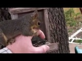 Тhe squirrel is played with a hand - Белка играется рукой