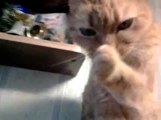 Кошка лижет лапу. / Cat licking.mp4
