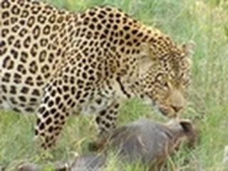 Леопарды - выживание в дикой природе на англ.  Animal Planet