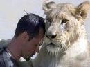 В Южной Африке дикие львы приняли в свой прайд человека - Первый канал